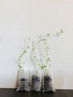 Buy Flowers Online, Buy Plants Online, Growing Herbs, Growing Vegetables, Black Bean Plant, Chickpea Plant, Okra Plant, Garbanzo Bean, Herbs Indoors