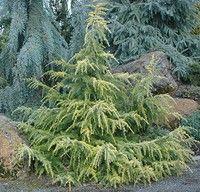 Cedrus deodara `Gold Cascade' - Conifers › Cedar   Maplestone Ornamentals