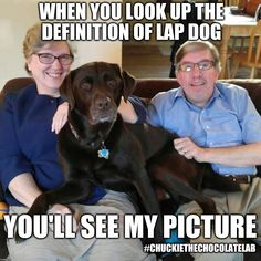 Custom Image Animal Funnies, Funny Animals, Cute Animals, Chocolate Labs, Funny Dog Memes, Labrador Retrievers, Lap Dogs, Labradors, Cute Dogs