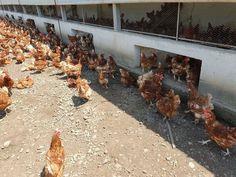 Salmonela la o fermă din județul DÂMBOVIȚA! Zeci de mii de păsări vor fi incinerate! Stuffed Mushrooms, Vegetables, Stuff Mushrooms, Vegetable Recipes, Veggies