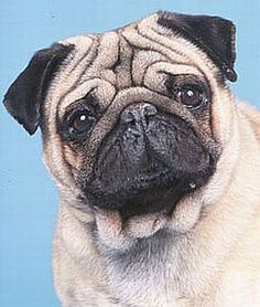 Did you now that flat-faced dog breeds, including the pug, are more prone to heat exhaustion? Photo from American Kennel Club.