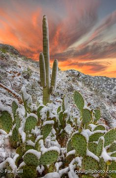 saguaro and prickly pear cactus covered in snow, Apache Trail, Superstition Wilderness Area, Arizona
