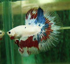 AquaBid.com - Item # fwbettashm1339542759 - ++++ Fancy Monster HM male ++++ - Ends: Tue Jun 12 2012 - 06:12:39 PM CDT