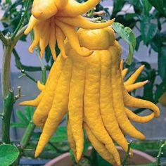 hi c fruit punch buddha hand fruit
