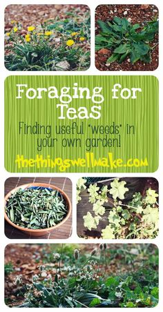 """Foraging for Teas- Finding useful """"weeds"""" in your garden, and how they can be used."""