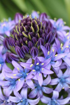 Nature's Purple Scilla Peruviana ~ by joocallaghan Blooming Flowers, All Flowers, Exotic Flowers, Amazing Flowers, Fresh Flowers, Purple Flowers, Beautiful Flowers, Nature Plants, Plantation