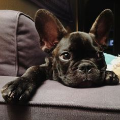 """I'm Bored..."", French Bulldog Puppy"
