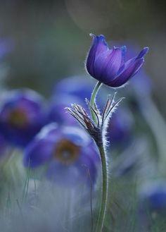 Pulsatilla patens by lszlpotozky - Close Up Art Photo Contest Beautiful Flowers Photos, Amazing Flowers, Pretty Flowers, Close Up Art, Flower Close Up, Bright Flowers, Purple Flowers, Bouquet Flowers, Flower Images
