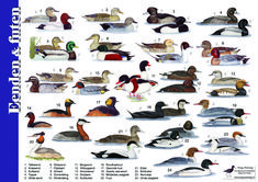 Postcard featuring a wide variety of ducks. Sent by a Postcrosser in the Netherlands. Geese Breeds, Duck Breeds, Bird Illustration, Illustrations, Beautiful Birds, Animals Beautiful, Different Birds, Nature Journal, Animals Of The World