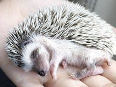 Make one special photo charms for your pets, compatible with your Pandora bracelets. 8 Things to Know Before Bringing a Hedgehog Home Hedgehog Facts, Hedgehog Care, Happy Hedgehog, Pygmy Hedgehog, Hedgehog House, Cute Hedgehog, Hedgehog Pet Cage, Hedgehog Food, Animals And Pets