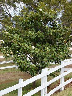 Planting, Gardening, Landscaping Plants, Wikimedia Commons, Dream Garden, Missouri, Shrubs, Magnolia, Trees