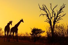 nation park, african safari, sunset, south africa, national parks