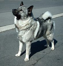 When I was young I had a dog of this breed named Elkie. *sigh she got hit by a car and died :(