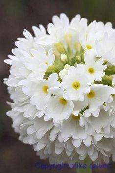 white primula denticulata or drumstick primrose