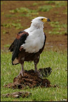 Portrait of the African Fish Eagle.