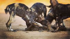 Wildly efficient predators, estimates place the hunting success rate of African wild dogs at 85%. While targeted prey rarely escapes a coordinated pack, upward of half their kills may be lost to larger carnivores such as lions and hyenas.  Photograph made by Alistair Swartz @aswartz9  #wildlife #action #facts #Africa #dailyphoto #wild #photography Life Photo, Daily Photo, African Wild Dog, Ranger, Hyena, Wild Photography, Lions, Wild Dogs, Success
