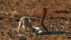 Mongoose Vs. Cobra - Mongooses and snakes are each other's deadliest opponents. When they face off, the outcome is utterly unpredictable. #animalenemies