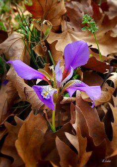 purple in autumn - Peloponnese, Greece