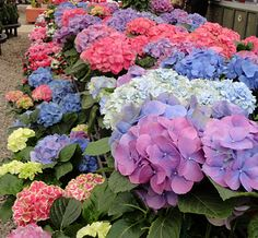 Hydrangeas..one of my favorite flowers...they are hard to grow in Nebraska...unless you are my next door neighbor...Borrowed a few from him last year...shhhhhh