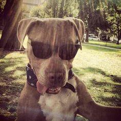 http://www.MyPitbullShop.com #pitbull #pitbulls #instadog #puppy #pup #cute #eyes #instagood #dogs_of_instagram #pet #pets #animal #animals #petstagram #petsagram #dogsitting #photooftheday #dogsofinstagram #ilovemydog #instagramdogs #nature #dogstagram #