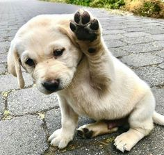 I vote for a walk! #LabradorRetriever