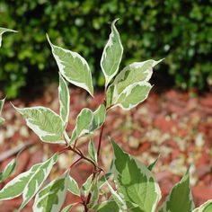 Pictures of Variegated Leaves: Variegated Dogwood Shrub