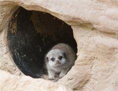 Suricata bebé - Los animales del mes: octubre 2012 - Fotos de Chile y el mundo en MSN Noticias