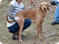 Lovables: #GEORGIA #URGENT ~ Tofu ID A461067 is a Vizsla dog in need of a loving #adopter / #rescue at FULTON COUNTY ANIMAL CONTROL   860 Marietta Blvd NW   #Atlanta GA 30318    ac.info@fultoncountyga.gov   adoptions@fultoncountyga.gov Ph 404-613-0357