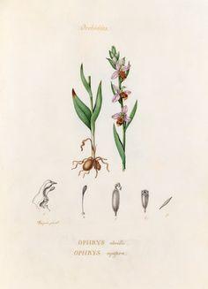 'Orchidées. Ophrys abeille. Ophrys apifera', Turpin, Pierre Jean François (1775-1840) (Artist)