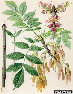 Fraxinus excelsior Ask European ash, Fraxinus excelsior (Scrophulariales: Oleaceae) - 1379059