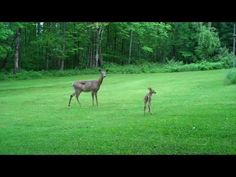 Cute Baby Deer Fawn Encounter