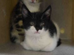 STATEN ISLAND CENTER  **MUST BE PULLED BY A NEW HOPE RESCUE**  NACHO – A1071596  FEMALE, WHITE / BLACK, DOMESTIC SH MIX,2 mos STRAY – STRAY WAIT, NO HOLD Reason STRAY Intake condition UNSPECIFIE Intake Date 04/26/2016, From NY 10302, DueOut Date 04/29/2016, I came in with Group/Litter #K16-055082.