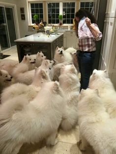 hellabanter:  worldofthecutestcuties:  A pack of samoyeds  what...