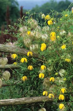 tangutica 'Bill Mackenzie' is a wonderful clematis with lovely yellow nodding flowers and then wispy seed heads which means it looks good almost all year. Clematis Care, Climbing Clematis, Clematis Trellis, White Clematis, Clematis Plants, Vine Trellis, Purple Clematis, Clematis Flower, Climbing Vines