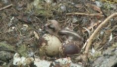 The first chick has hatched on Osprey Cam! See if you can catch momma Rachel feeding the baby its first meal.