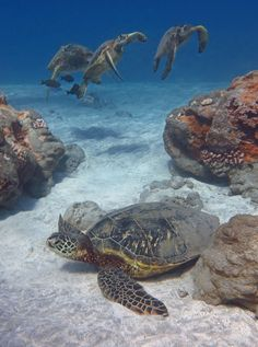 Sea turtles, three and one (by bluewavechris)