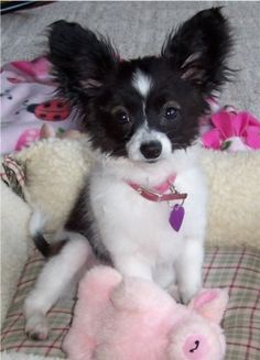 Reminds me of my Papillon, Maddie, when she was a puppy!!