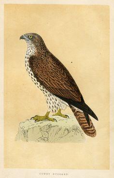 MORRIS BRITISH BIRDS 1850: HONEY BUZZARD Hand-Colored Wood Engraving