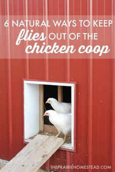 I currently have less flies in my chicken coop than I do in my house, thanks to the tips in this chicken coop fly control post!
