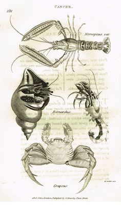 """Shaw's General Zoology - (Seashells) - """"CANCER - CRABS"""" - Copper Engraving - 1805"""