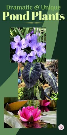 Find all the best aquatic plants for your pond or water feature. #PondPlants #WaterGardenPlants #AquaticPlants #PondPlantTypes Water Garden Plants, Container Water Gardens, Pond Plants, Patio Plants, Aquatic Plants, Container Plants, Patio Pond, Small Ponds, Water Features