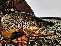 Brown trout print...