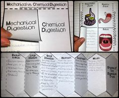 Interactive Notebooks for the digestive system - these are awesome! Mechanical vs. Chemical digestion, chemicals that aid digestion, digestive tract fold out activity.