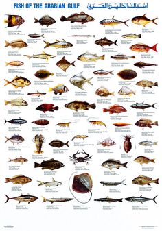 Peixes do Arabian Gulf Salt Water Fish, Salt And Water, Pesca Spinning, Fish Chart, Fish Puns, Fish Illustration, Kunst Poster, Types Of Fish, Marine Fish