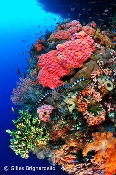 dive the Alor and the  fantastic coral reefs of Pantar island ....Indonesia: we love your diving spot