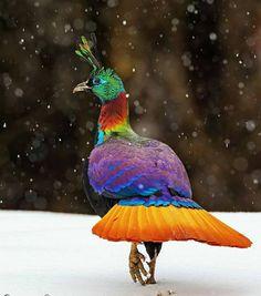 Himalayan, Wild Photography, Most Beautiful Birds, Bird Pictures, Bird Feathers, Mother Earth, Wildlife, Carpet, Creatures
