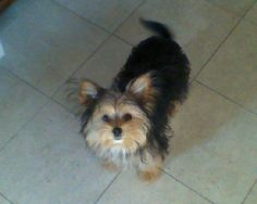 REUNITED WITH FAMILY  EVANSVILLE #IN #LOSTDOG 8-17-13 #CHORKIE BLACK AND FAWN 812-455-8277  https://www.facebook.com/photo.php?fbid=509526512462953=o.174905092537413=1