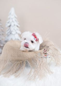 Browse our selection of Tiny Teacup Maltese puppies on our website. Toy Maltese puppies are conveniently small and cute. Check our Micro Teacup Maltese on sale. Maltese Puppies For Sale, Maltese Dogs, Dogs And Puppies, Teacup Maltese, Yorkie Dogs, Yorkies, Baby Tea, Shih Tzu Puppy, Shih Tzus