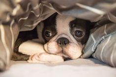 <3 Boston Terrier Sweetness <3