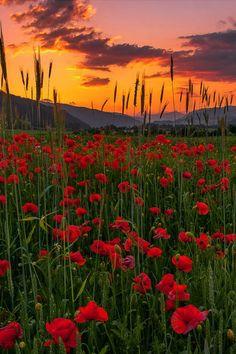 Poppy meadow sunset - Pöls, Styria, Austria | by Friedrich Beren | http://fotografie.at/index.php?page=GalerieDetail&FotoID=373190